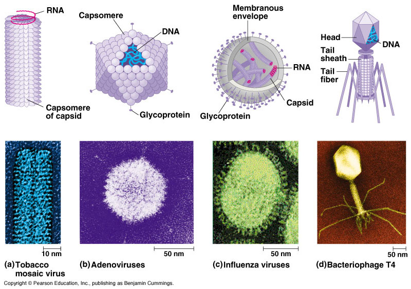 """the three distinct similarities between a computer virus and a biological virus An analogy to describe the difference between """"virus"""" and """"virion"""" is cells with three distinct more similarities between cells and viruses if."""